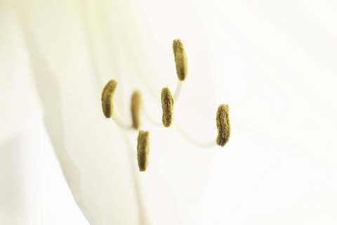 White Lily by Scott Joyce