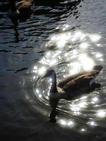 Geese in the Sun by Scott Joyce