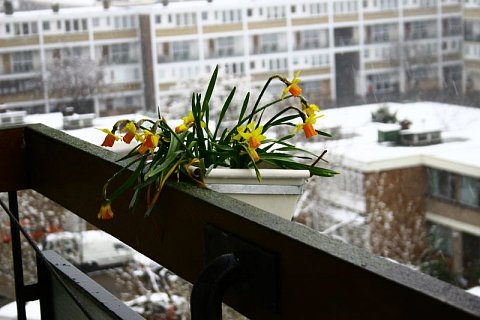Daffodils in Snow by Scott Joyce