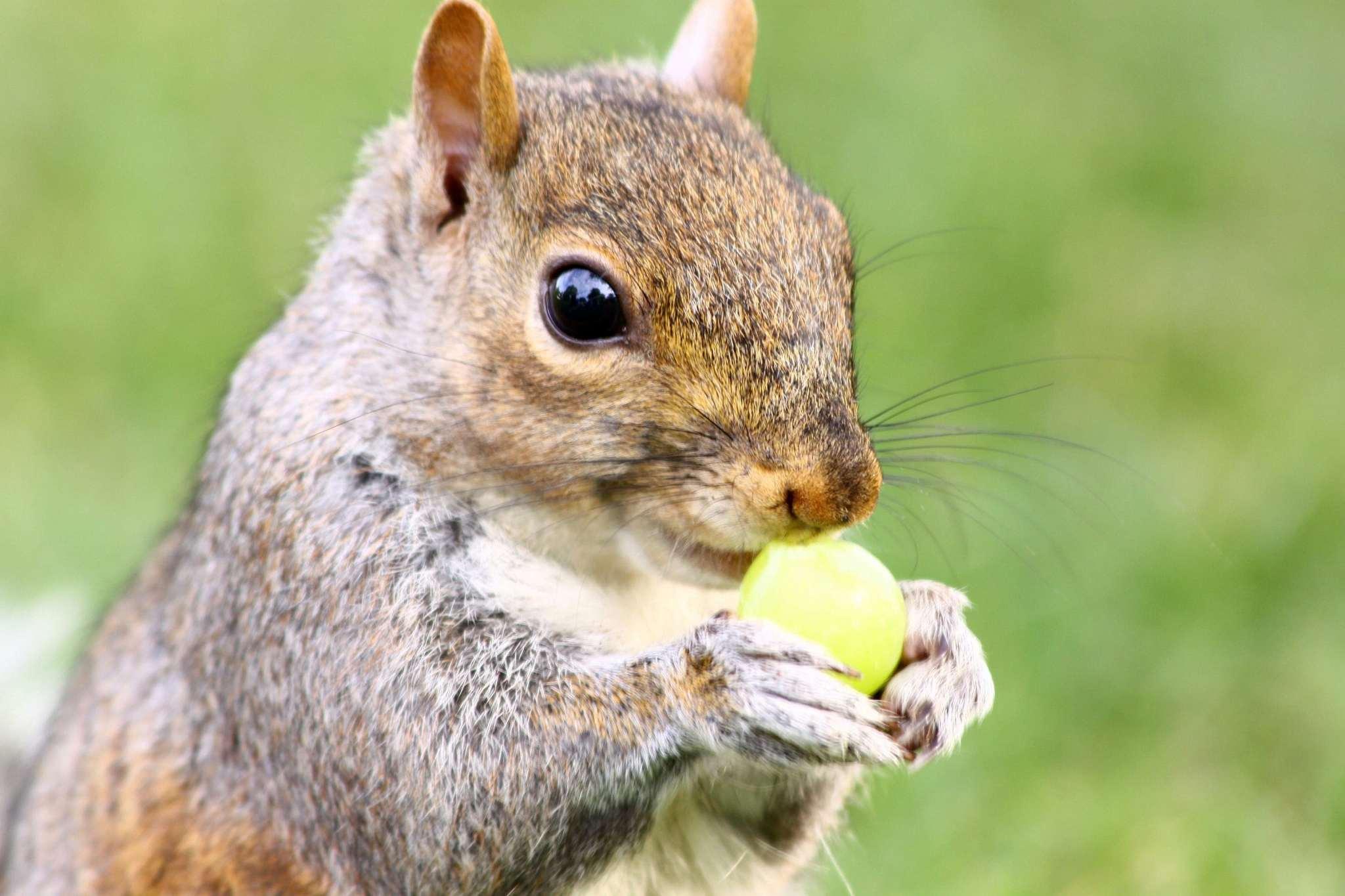 Squirrel vs Grape
