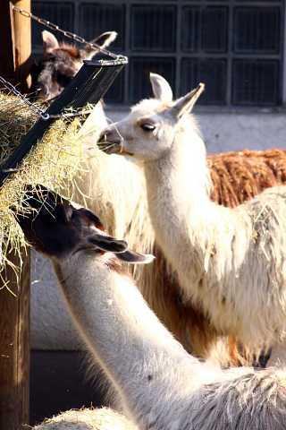 Llamas at the Zoo by Scott Joyce