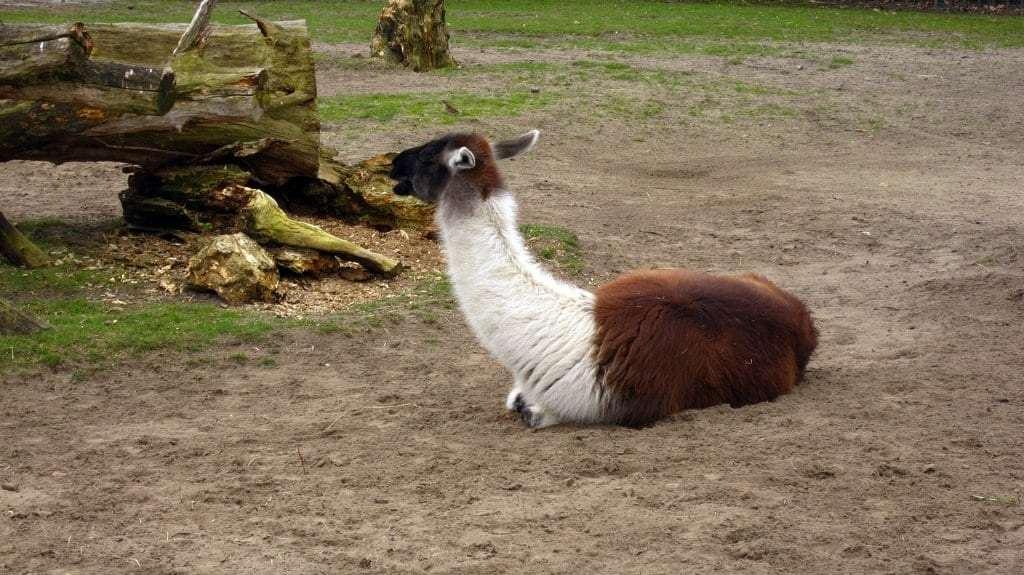 Llamas at the Zoo