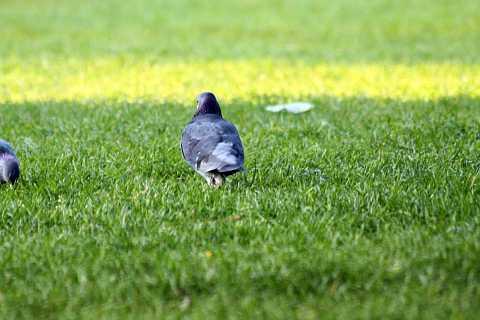 Pigeons by Scott Joyce