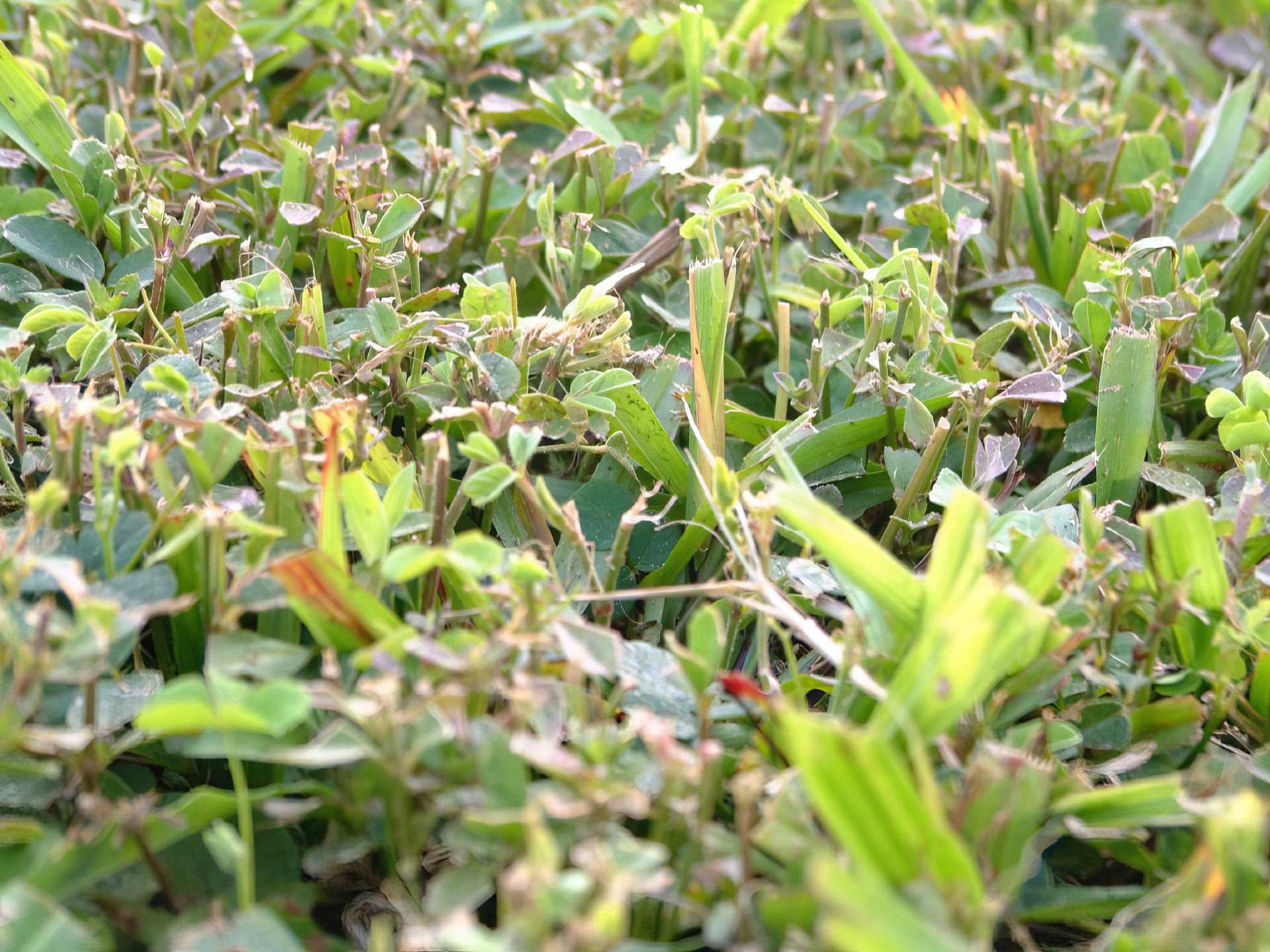 Hardened grass