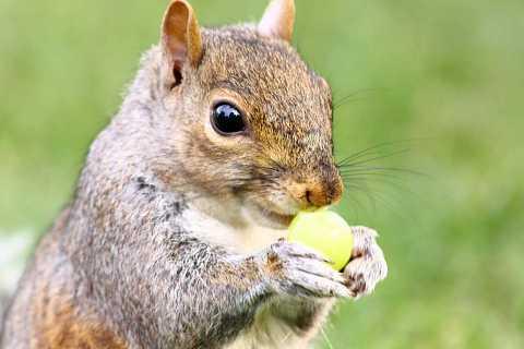 Squirrel vs Grape by Scott Joyce