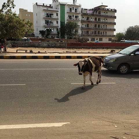 Cow crossroads. by Scott Joyce