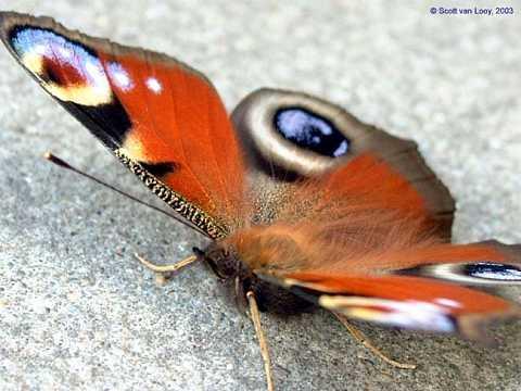 Peacock Butterfly by Scott Joyce