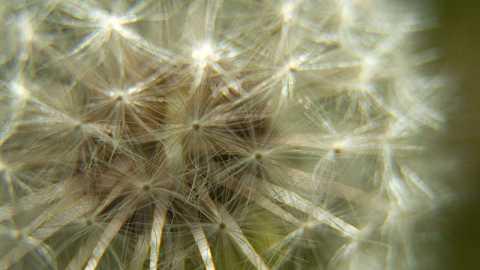 Macro dandelion by Scott Joyce